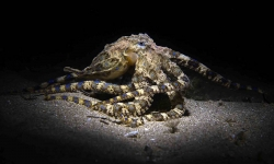 Deadly Fascination - Blue-ringed Octopus